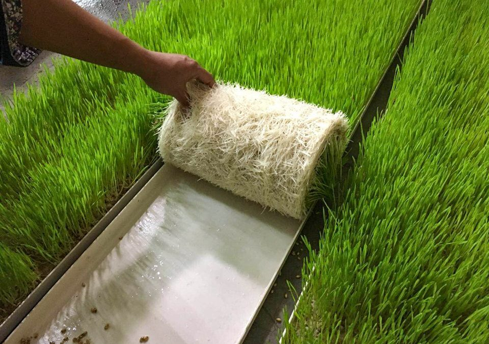 Hydroponic fodder production gains momentum